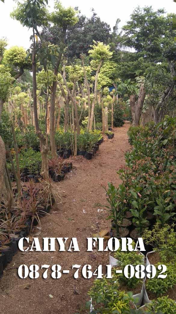 supplier tanaman pelindung