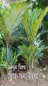 Harga tanaman palem merah