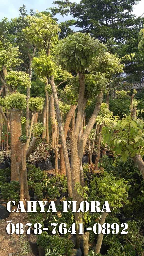 pangkalan pohon peneduh