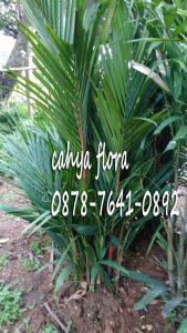 Cara menanam dan merawat pohon palem merah