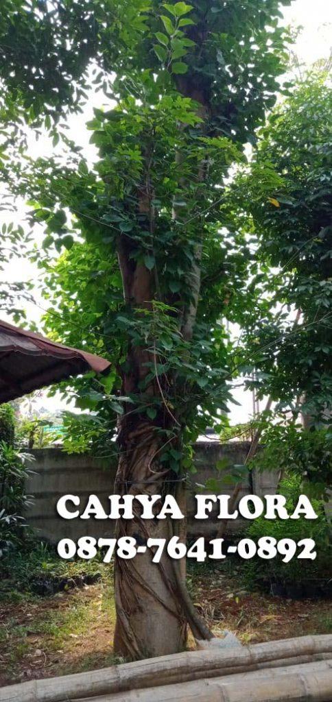 harga pohon Bodhi