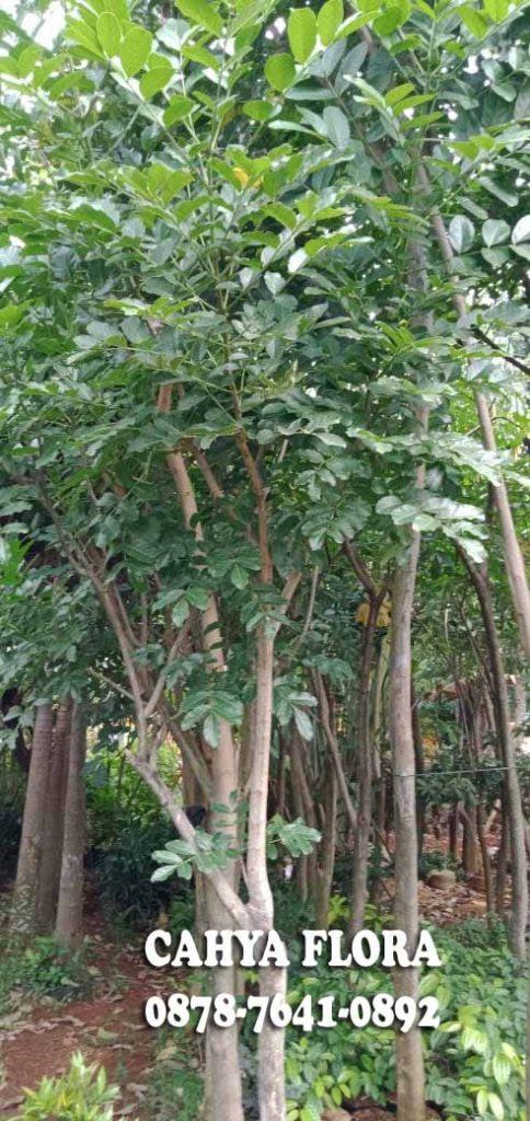 harga pohon kigelia