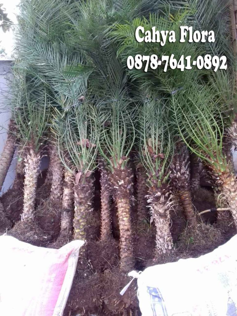 harga pohon palem phonix
