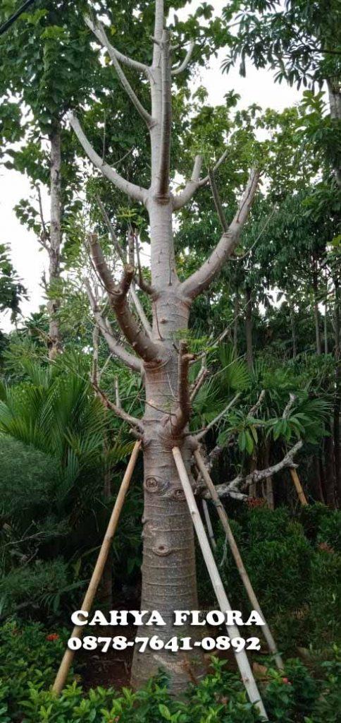 harga tanaman baobab