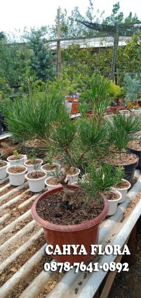 jual pohon black pine