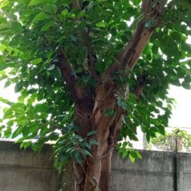 jual pohon bodhi