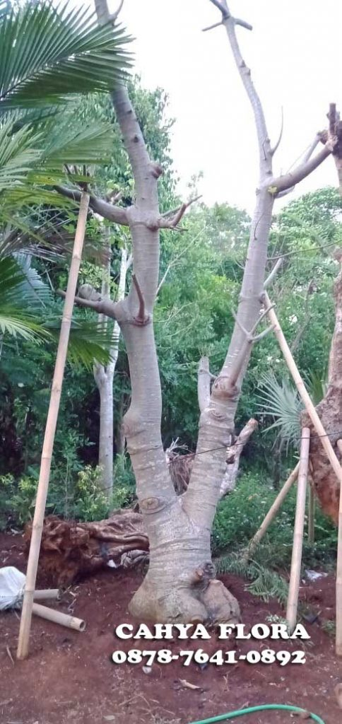 jual pohon kaki gajah