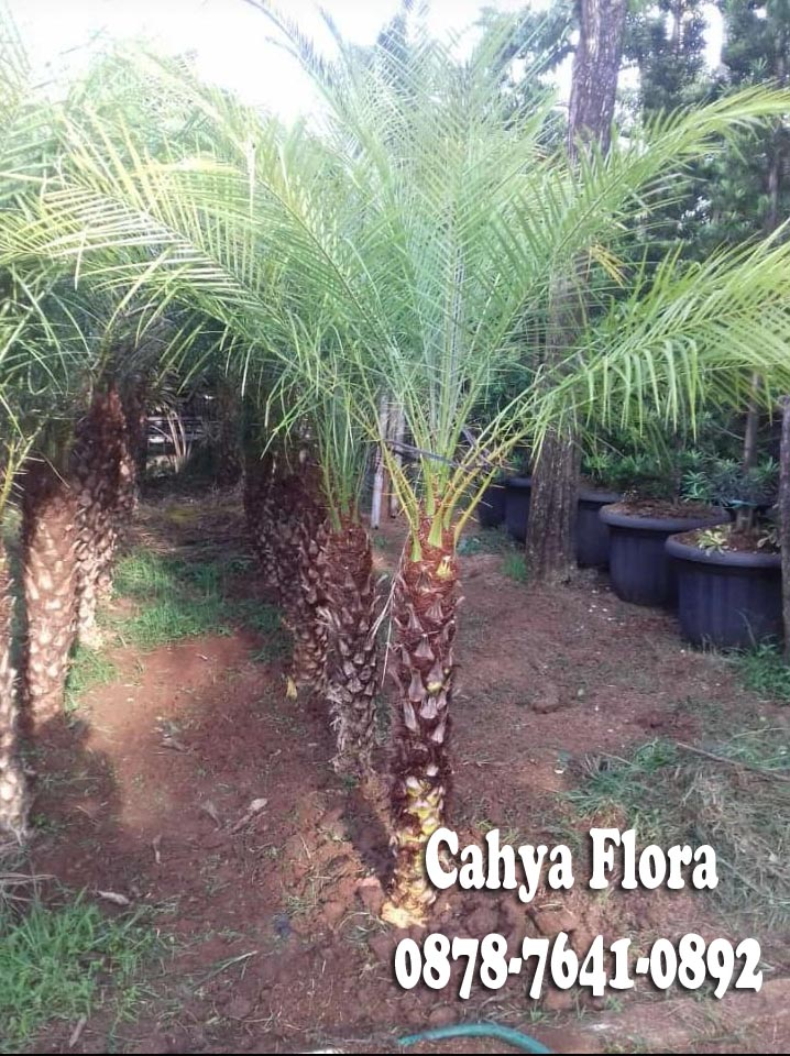 jual pohon palem phonix