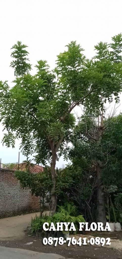 petani pohon kigelia