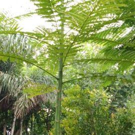 petani pohon solobium