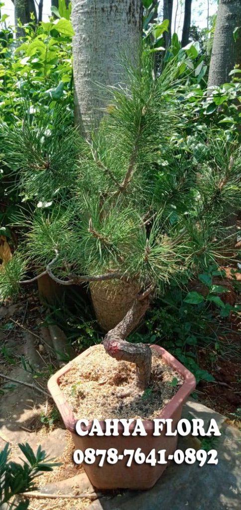 petani tanaman black pine