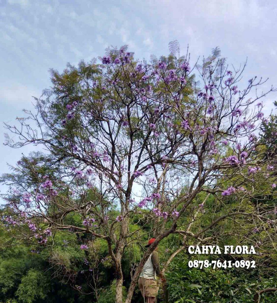 pohon jacaranda