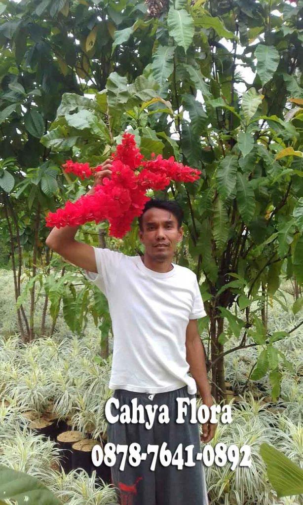 tanaman warwesia