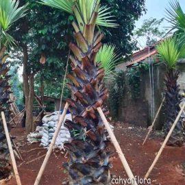 harga pohon palem lontar