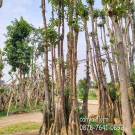 penjual pohon pule rawa