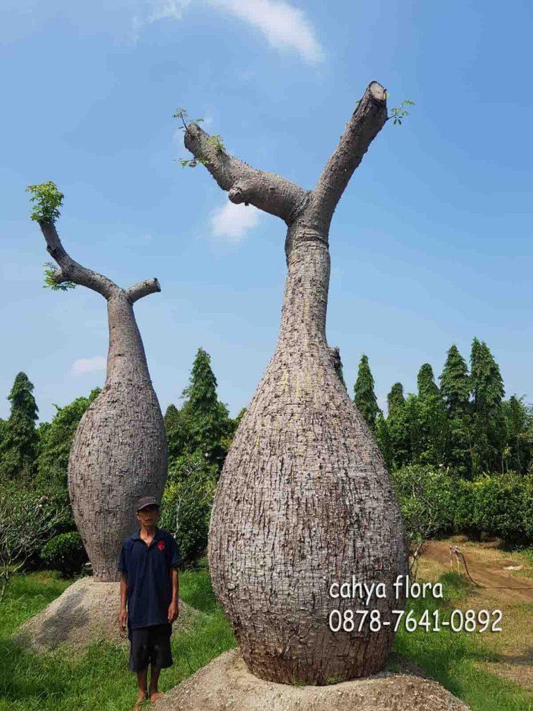 petani pohon bottle tree