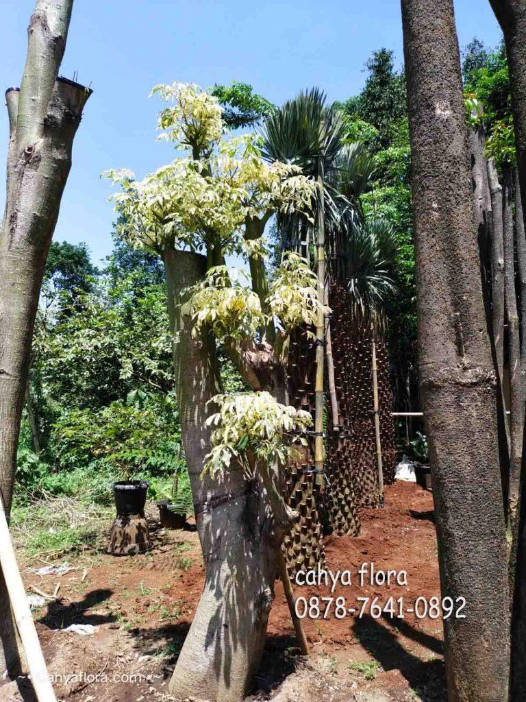pohon bonsai randu